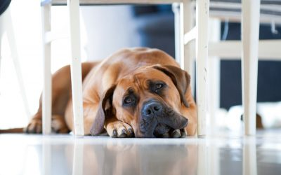 10 Large Dog Breeds That Thrive in a Tiny Apartment